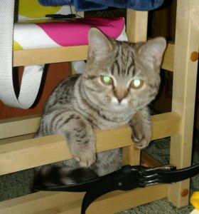 Кошка 7 месяцев шотланская прямоухая.