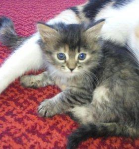 Продается котёнок
