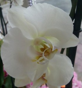 Орхидея от 1000