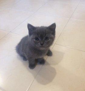 Котята Скотиш-Фолли(британцы)