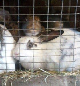 Кролики 8 месяцев и крол 1,5 года