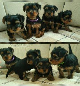 Продам щенков
