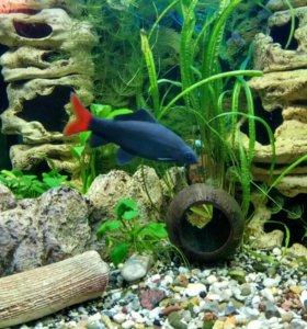 Рыбка аквариумная Лабео