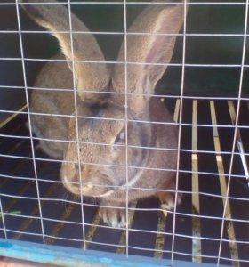 Кролики породы фландера.