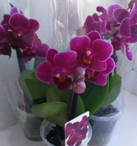 Орхидеи мини