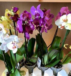 Орхидея super extra