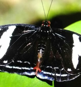 Живые экзотические бабочки catonupele numila