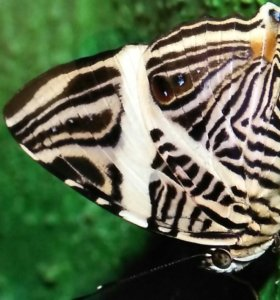 Живые экзотические бабочки Мраморная ьабрчка