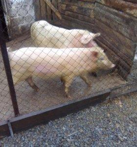 Продам 2 индюков кабанчика и свинку