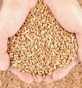 зерно(пшеница)
