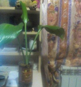 Цветы Амазонская Лилия