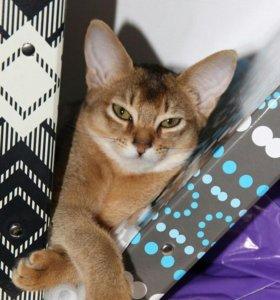 Абессинская порода котята