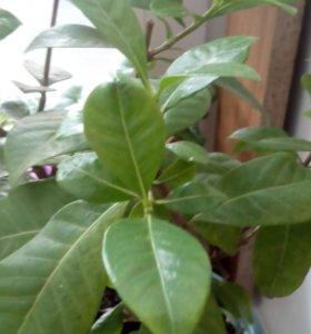 Гардения жасминовая
