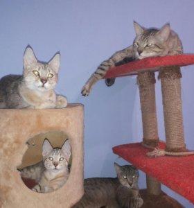 Пиксибоб котик