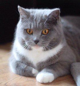 Кошка Бася, метис британки в дар