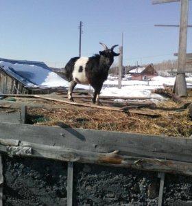 Продам козла