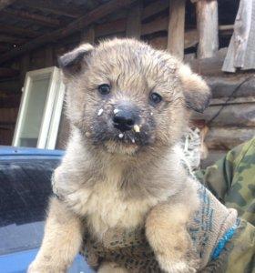 Продам щенят (девочки) от западно-сибирской лайки