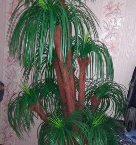 Пальма. В отличном состоянии . 89621633658