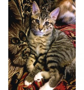 Котёнок Курильского Бобтейла. Родились 21.12.16