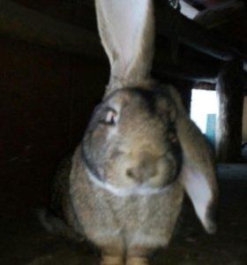 Кролики для разведения и на мясо не дорого!!!