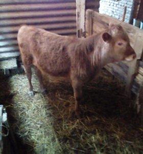 Корова с теленком, бычок