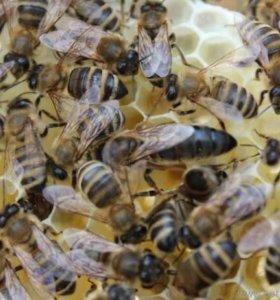 Пчеломатки среднерусской