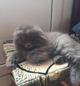 Продам вислоухого британского котёнка