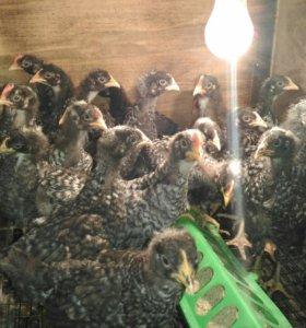 Цыплята Амрокс