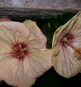 Взрослый абутилон цветущий