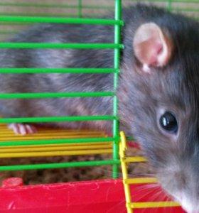 Крыс,клетка,поилка,миска