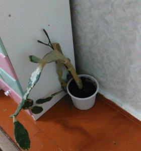 Срочно продаю кактус !