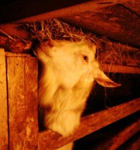 Альпийско-зааненские козлята