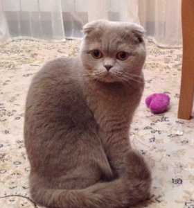 Вислоухая кошечка ищет кота
