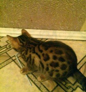 Котёнок бенгальскии