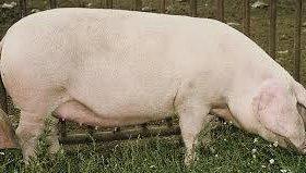 Продам свиноматку