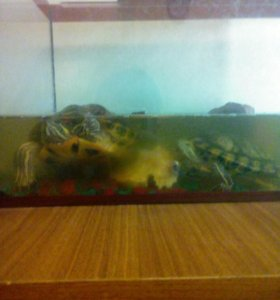 Черепахи Федя и Фрося с оквариумом