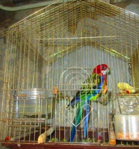 Попугай Пестрый Розелла