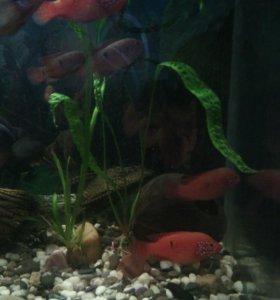 Рыбки- Хромисы