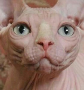 Голыши малыши котята сфинксята