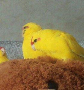 Птенцы какарики)