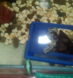 Красноухие черепахи с террариумом.Возраст 4 года.