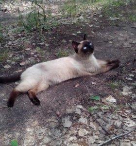 Тайский чистопородный кот для вязки