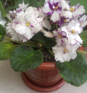 Цветущая фиалка цветок