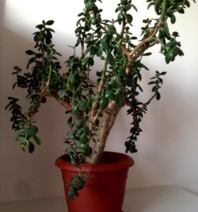 Толстянка/денежное дерево/дерево счастья