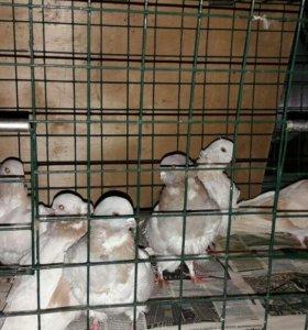Навоз птичий