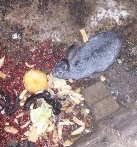 Кролик Серибристый фламбер
