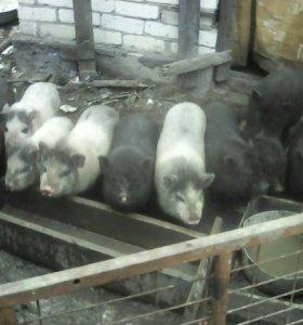 Вьетнамские паросята