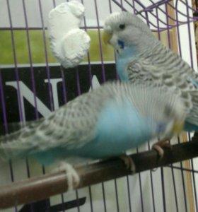 Продаются попугаи