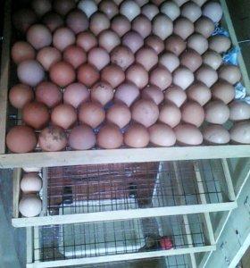 Яйцо утки