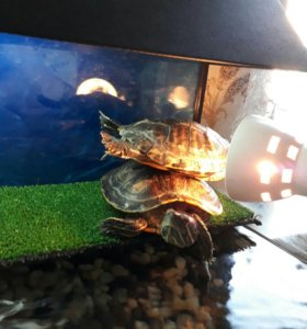 Аквариум-терариум + черепахи